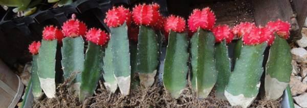 画像3: 赤 緋牡丹サボテン