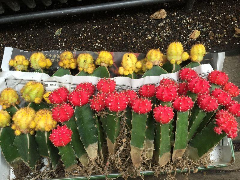 画像5: 赤 緋牡丹サボテン