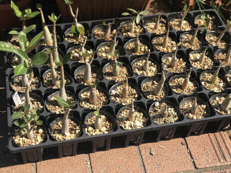 画像2: アデニウムアラビカム オベスム交配種 ミニ苗