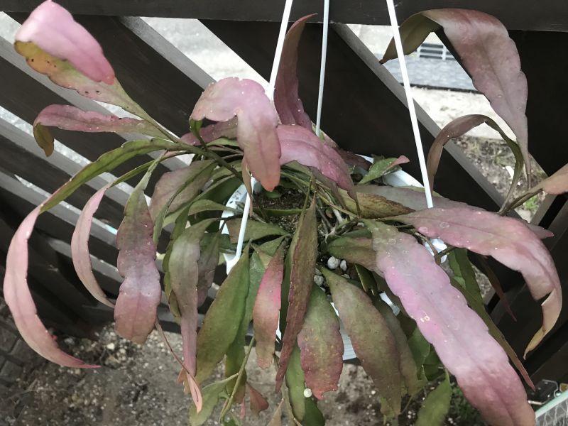 画像2: ラムローサ 5号吊り鉢
