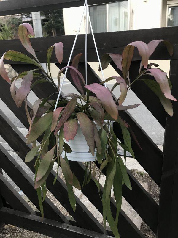 画像1: ラムローサ 5号吊り鉢